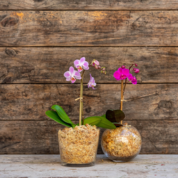 Photo of Phalenopsis Orchid Plant in Glass - Small
