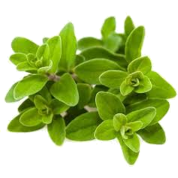 Photo of Marjoram P/P