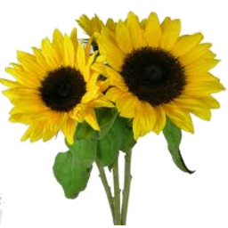 Photo of Flowers Sunflowers