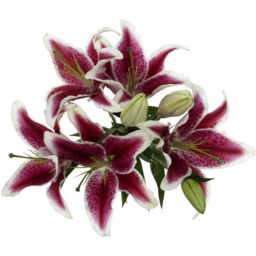 Photo of Flowers Oriental Lilly Red / White