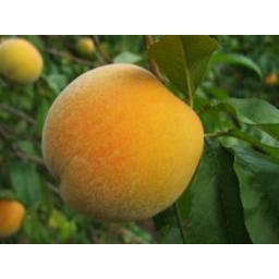 Photo of Peaches Golden Queen Kg