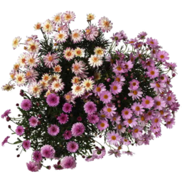 Photo of Flowers Cammomile Daisy