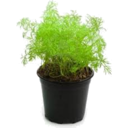 Photo of Dill Pot