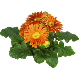 Photo of Mini Gerberas