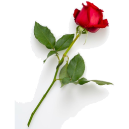 Photo of Single Red Rose With Foliage
