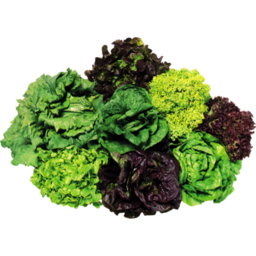 Photo of Lettuce Hydroponic