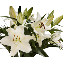 Photo of Oriental Lily