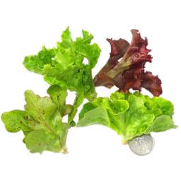 Photo of Gourmet Greens Lettuce Mix 150gm