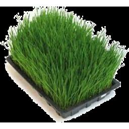Photo of Wheatgrass - Tray