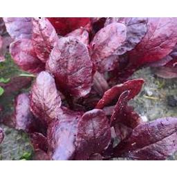 Photo of Thymebank Baby Beet Leaves