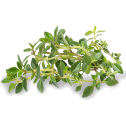 Photo of Herbs Lemon Thyme Each