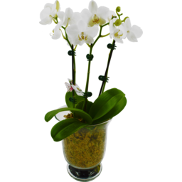 Photo of  Glass Phalaenopsis Orchid Holder Each