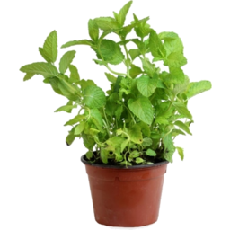 Photo of Potted Fresh Mint