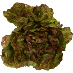 Photo of Lettuce Oak Leaf Red