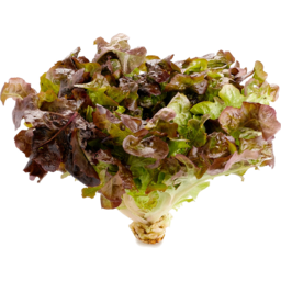 Photo of Lettuce - Red Oak