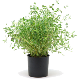 Photo of P/Sprouts Corriander Herb Pot