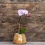 Photo of Phalenopsis Orchid Plant in Glass - Medium