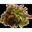 Photo of Lettuce Red Oak