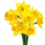 Photo of Bunched Daffodils
